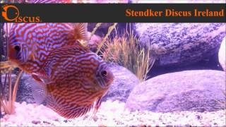 Discus.ie - Stendker Red Turqouise(