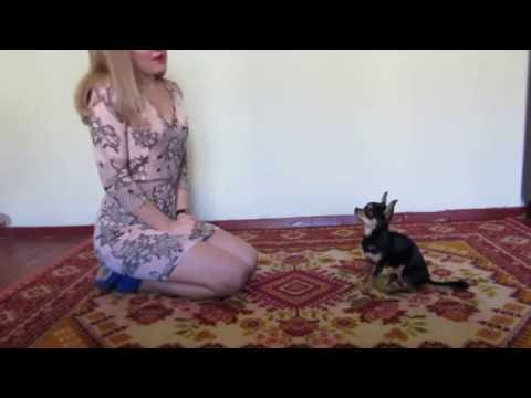 Clever mini dog presents tricks! Chihuahua