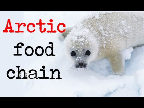 Arctic food chain | tundra biome and arctic ecosystem