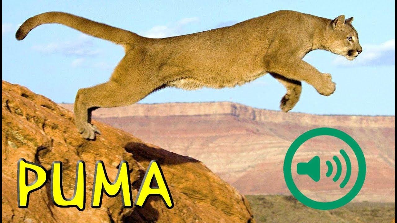 Del Puma Concolor Sonido Puma Sonido Concolor Del K13ulcFJT