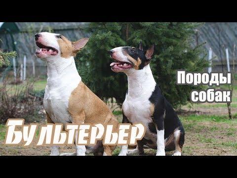 Американский стаффордширдский терьер на ilikepet - YouTube