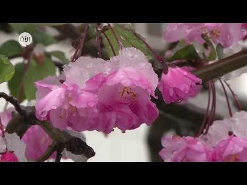 ثلوج تغطي طوكيو في موسم تفتح أزهار الكرز  - نشر قبل 10 ساعة