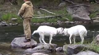 козоводство с ноля Суриков Д.П. г. Иркутск серия 22 (рыбалка на реке Бугульдейка с козами)