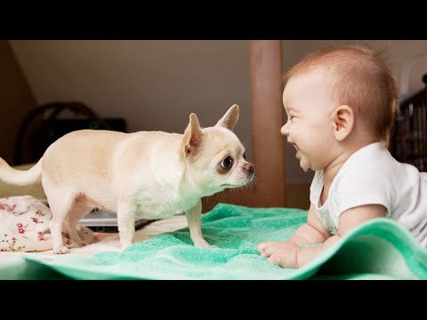TRY NOT TO LAUGH: Are Chihuahua The Funniest Nanny? ||  Funny Baby Video