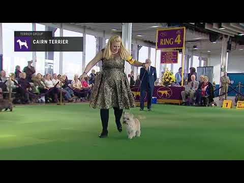 Cairn Terrier | Breed Judging (2019)