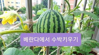 도시농부: 베란다텃밭 수박,콩나물 키우기 [음악가의 이…