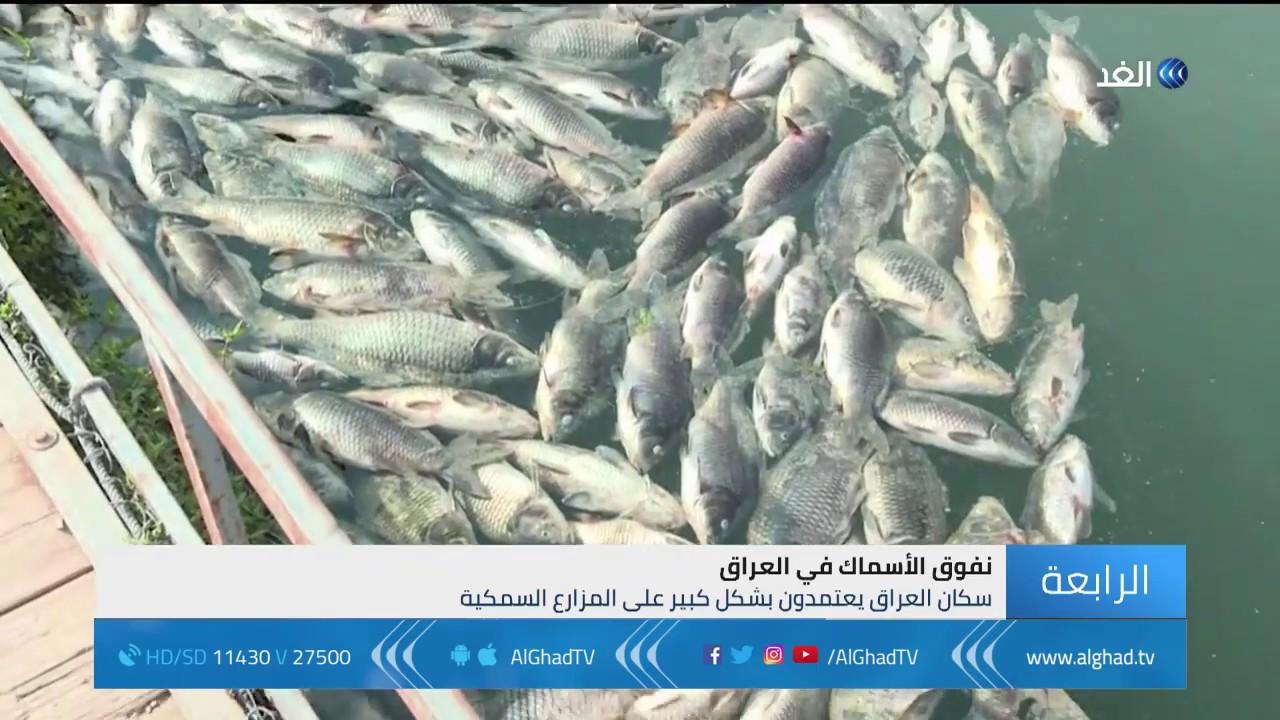 تقرير |   العراق .. نفوق أطنان من الأسماك