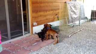 "This is a video of Tosa Inu (土佐犬) puppy ""Musashi"" meeting Kai Ke..."