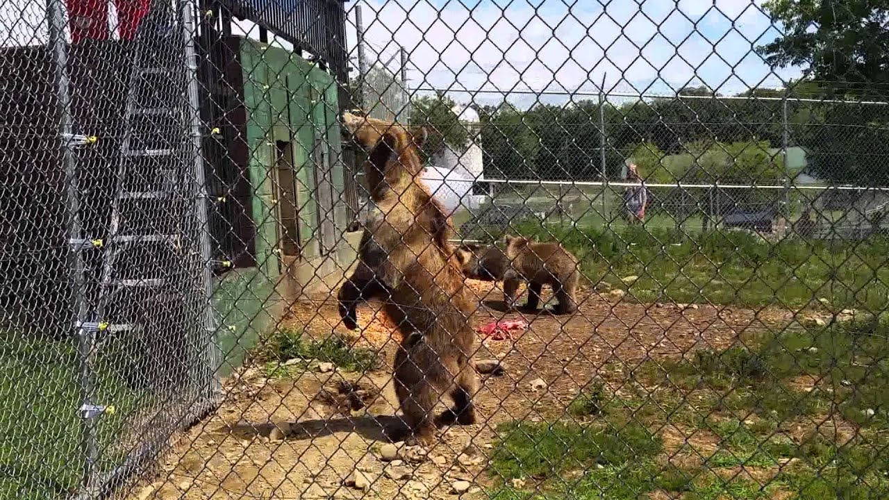 kodiak bear feeding at space farm nj 2