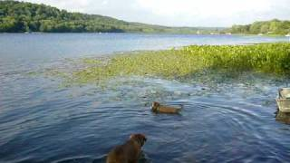 Dogue De Bordeaux And Puggle At The Lake 6