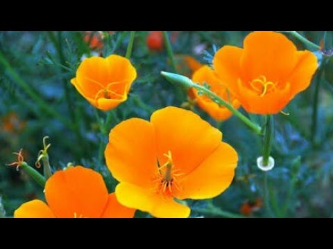 How to grow california poppy with all care and tips youtube how to grow california poppy with all care and tips mightylinksfo