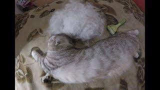 Расчесываем Кошку Хлою 😻 Реакция Кошки на Фурминатор 🐱 Милая Кошка балдеет Cat