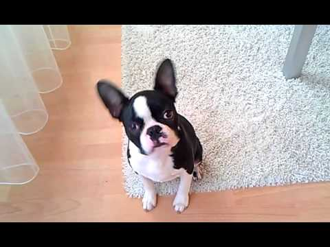 My Boston Terrier Murphy doing tricks at the age of 17 weeks
