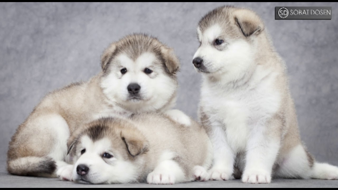 Perbedaan Anjing Alaska Malamute Dan Siberian Husky Youtube