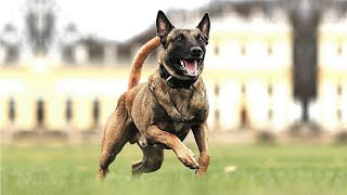 Power of Belgian Malinois | The Great Police Dog breed Ever