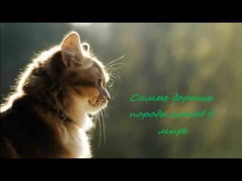 самые дорогие кошки фото. Самые дорогие породы кошек с указанием цен.