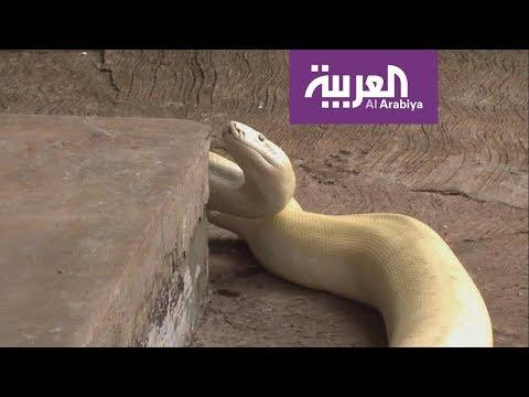 الاستثمار في الزواحف أفضل من الذهب!.  - 21:53-2018 / 9 / 22
