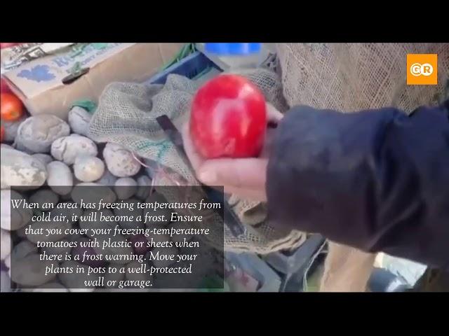 Tomato and Potato Frozen in Ladakh -23 temperature