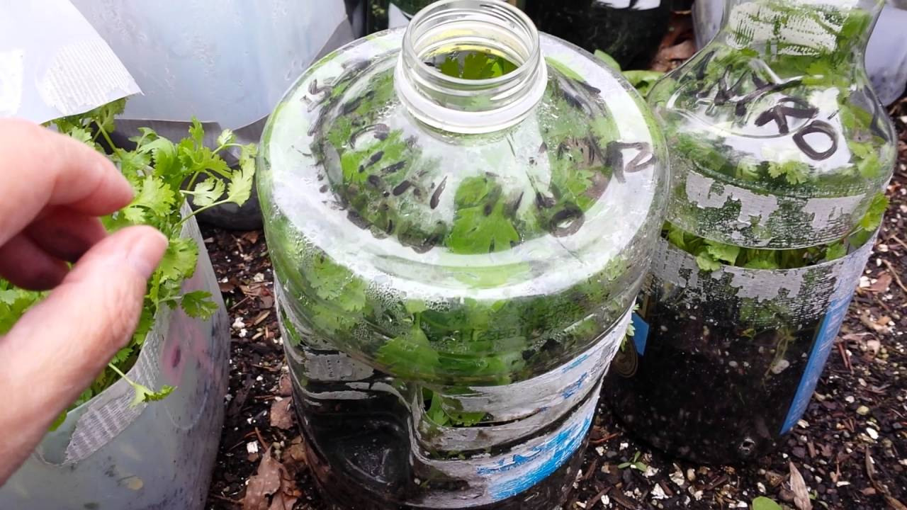 Cilantro Reveal Winter Sowing Grown In Milk Jugs Mini Greenhouses