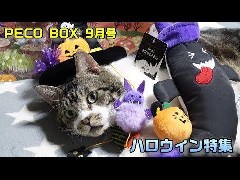 おばけに猫キックでボッコボコ!!リキちゃんとペコボックス9月号ハロウィン特集を見てみよう♪【リキちゃんねる 猫動画】Cat video キジトラ猫との暮らし