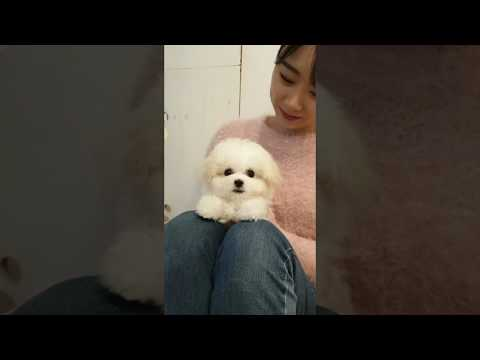 A baby mini bichon frise grooming video lovely puppy video - Teacup puppies KimsKennelUS