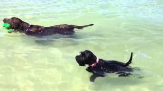 Pippa Mini Schnauzer Swimming At The Beach