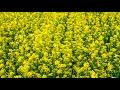 아름다운산하(유채) - 동영상[시선]