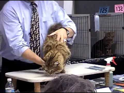Champion American Bobtail Cat