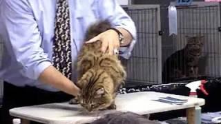 Champion American Bobtail Cat