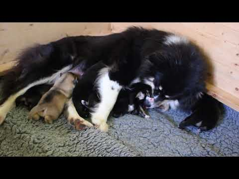 Finnischer Lapphund Kennel Erimathi I-Wurf Welpen 1 Woche alt Finnish Lapphund Puppies