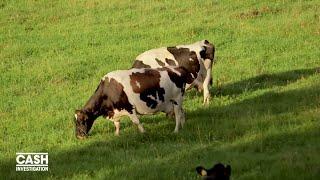 La Nouvelle Zélande, la vache à lait du monde - Cash investigation (Extrait 3)