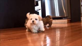 Shih Tzu Puppies For Sale February 9, 2015