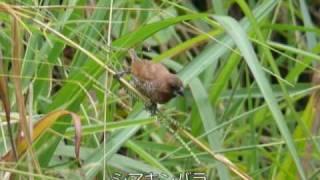 キャメロン高原の野鳥