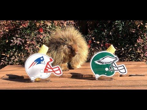 Teddy Bear the Porcupine Predicts Super Bowl 52