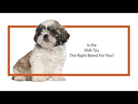Is the Shih Tzu the right breed for you?