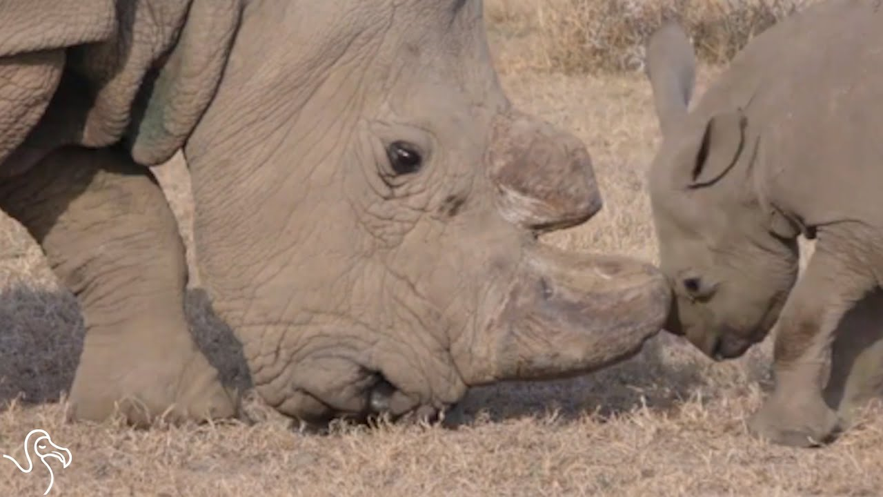 Science Could Save The World's Rarest Rhino