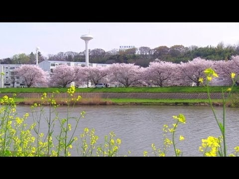 A beautiful spring landscape of Japan Sakuragawa cherry blossom view in Ibaraki Prefecture