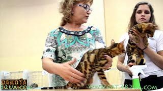 Бенгалы, Международная выставка кошек, Ринг, репортаж, день первый, Харьков, 12 09 2015, часть 5