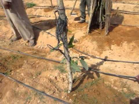فيديو زراعة المانجو القزمى رعاية مابعد الزراعة والخدمة