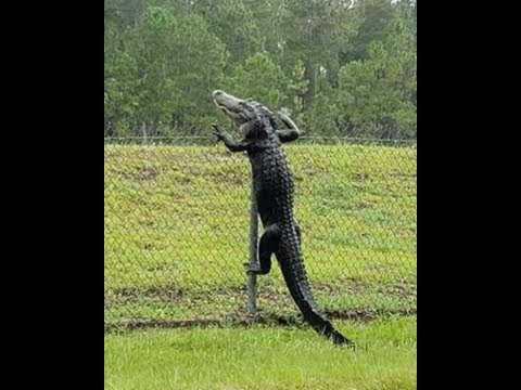 Randi West - Alligator climbs fence