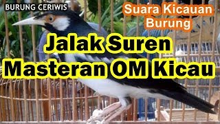 Suara Kicauan Burung Jalak Suren Masteran OM Kicau Mantap