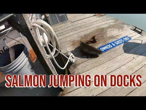 Lake Michigan Salmon Jumping Onto Docks with Jessie Baker