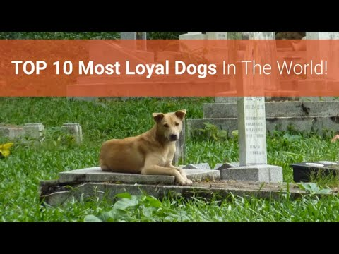 🐕-list-of-top-10-most-loyal-dog-breeds-in-the-world!