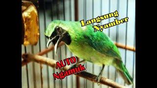 Download Lagu Cucak ijo APAPUN Auto NGAMUK dan IKUT GACOR dengan pancingan cucak ijo ini mp3