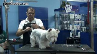 Seminario West Highland White Terrier