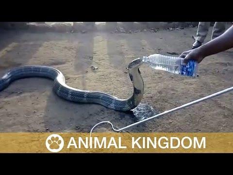 victima de la sequia, una enorme cobra toma agua de una botella