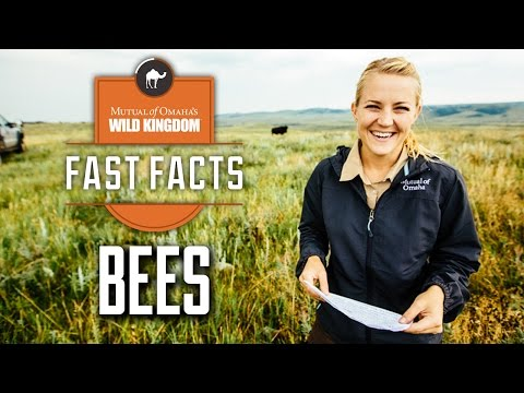 Wild Kingdom Fast Facts - Bees