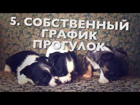 Как я учил щенка чихуахуа ходить на пелёнкуиз YouTube · С высокой четкостью · Длительность: 9 мин27 с  · Просмотры: более 105000 · отправлено: 21.10.2015 · кем отправлено: Andrey Prihodko