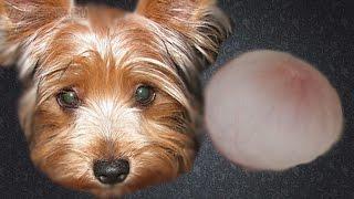 Грыжа у собак | Виды грыжи | Лечение грыж.(, 2016-02-29T17:25:11.000Z)