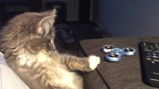 Cat fascinated with a Fidget Spinner